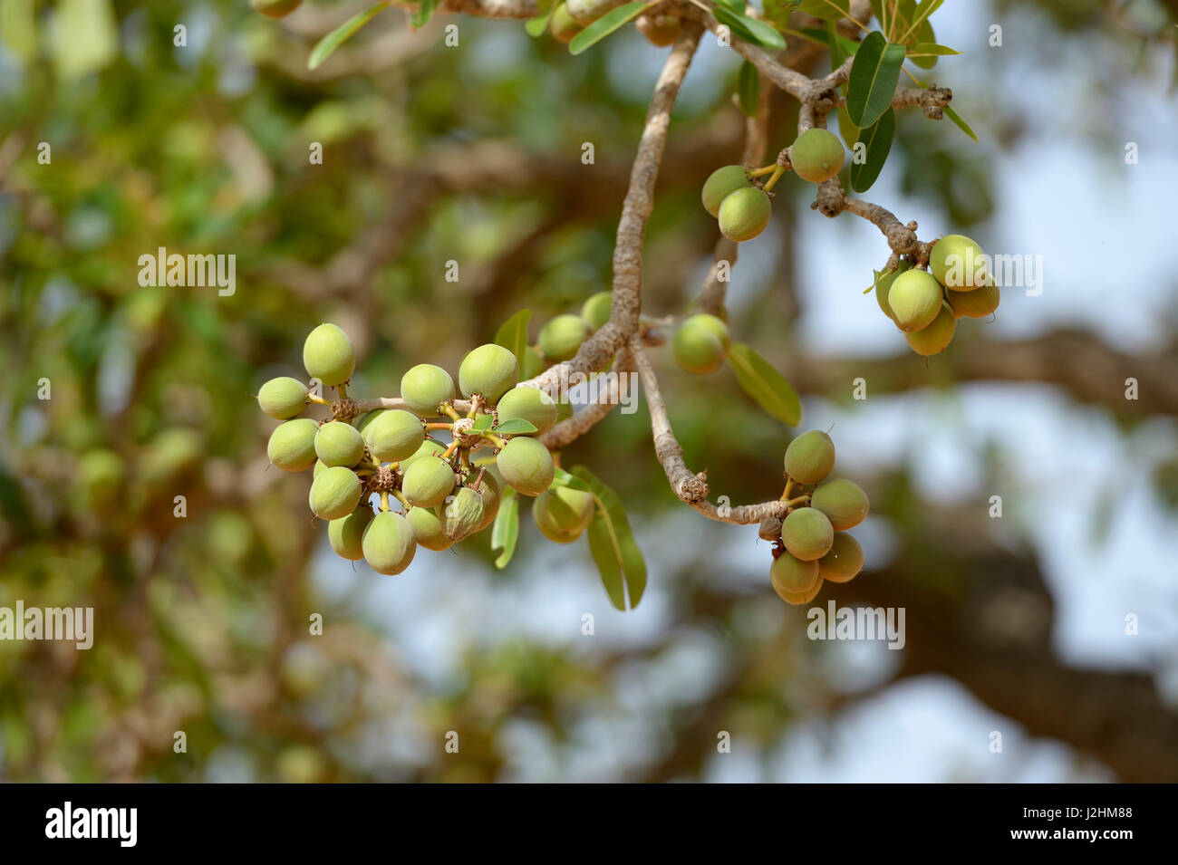 Shea tree (Vitellaria paradoxa) with fruits, Burkina Faso - Stock Image