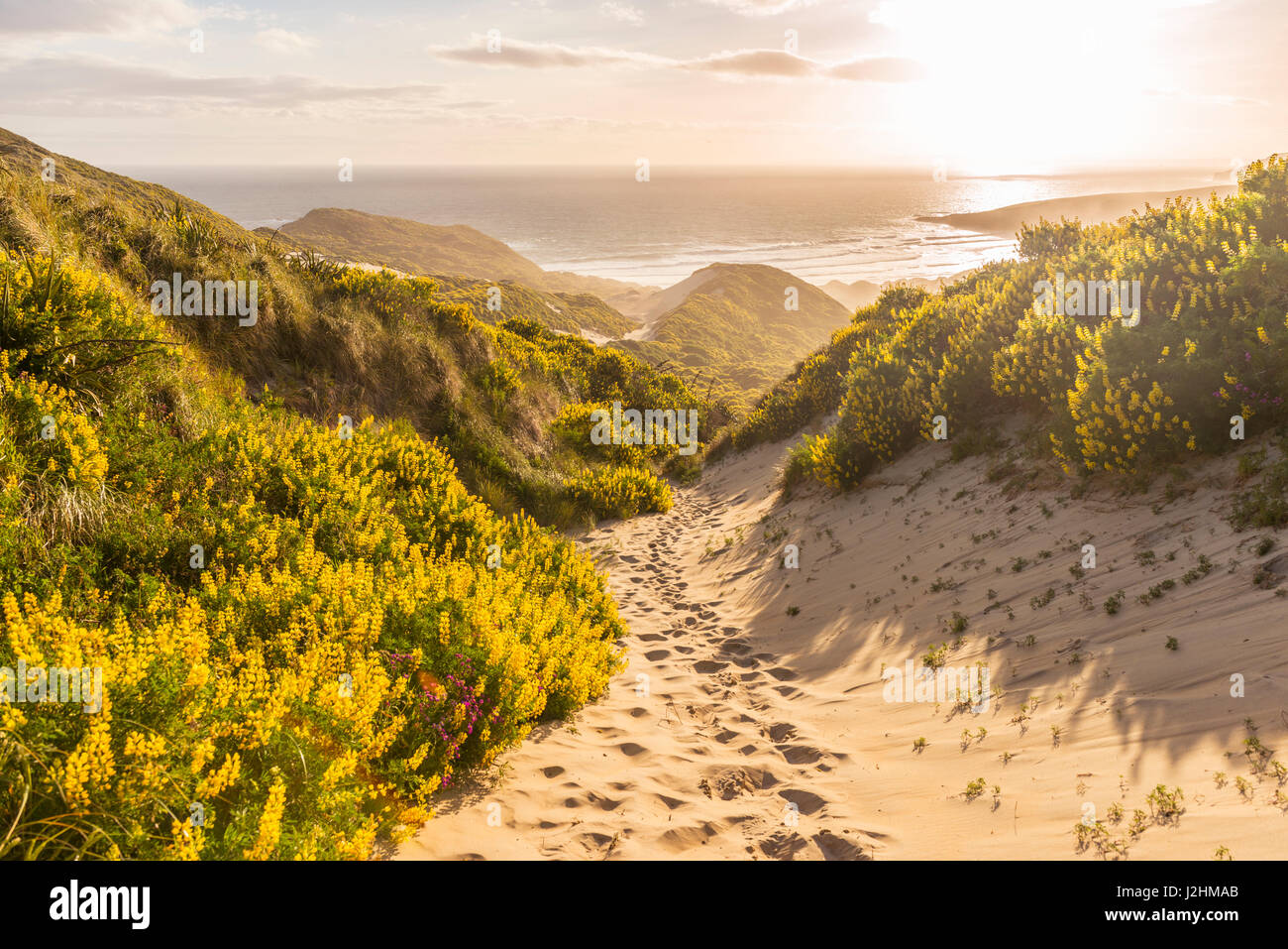 Yellow Lupines (Lupinus luteus) on sand dunes, view of coast, Sandfly Bay, Dunedin, Otago Region, Otago Peninsula, - Stock Image