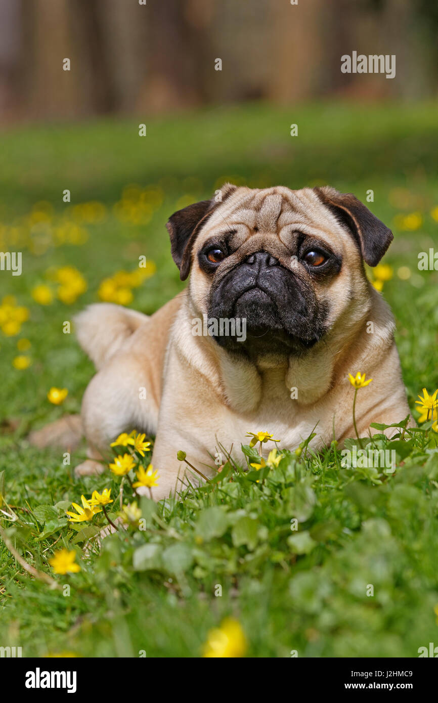Pug in wild flower meadow, Schleswig-Holstein, Germany - Stock Image