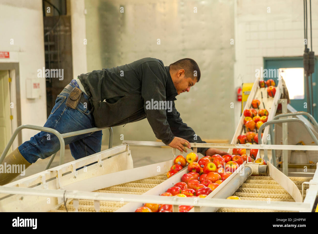 USA, Washington, Yakima. Production worker inspects apples to be made into apple cider at Tieton Cider Works. Stock Photo