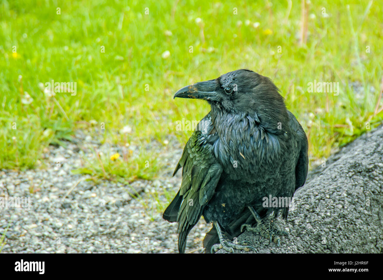 Black raven by the roadside in the Lamar Valley, Yellowstone National Park. - Stock Image