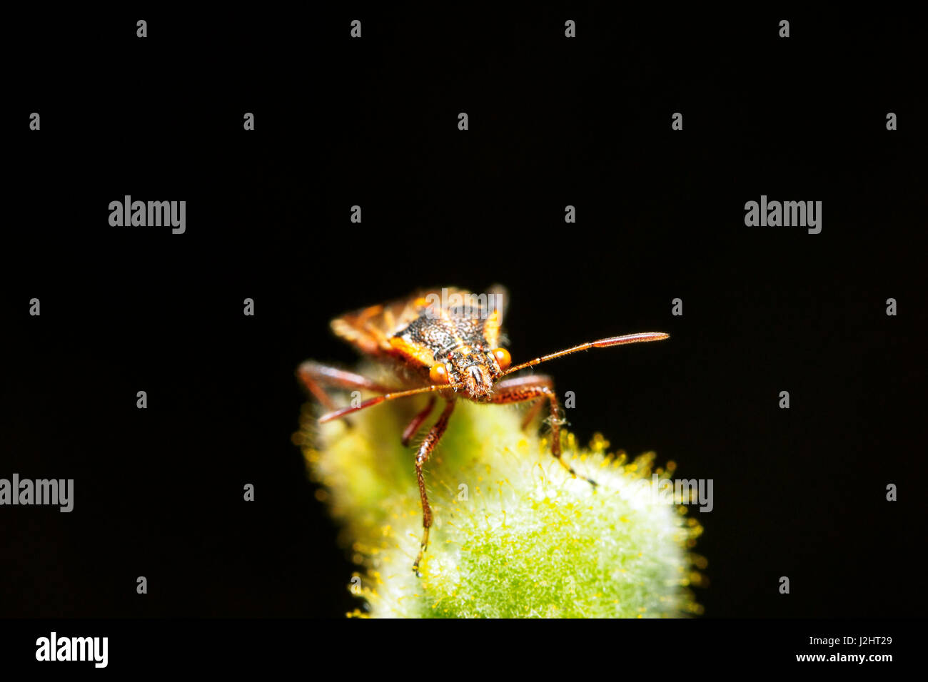 Rhopalus parumpunctatus - Stock Image