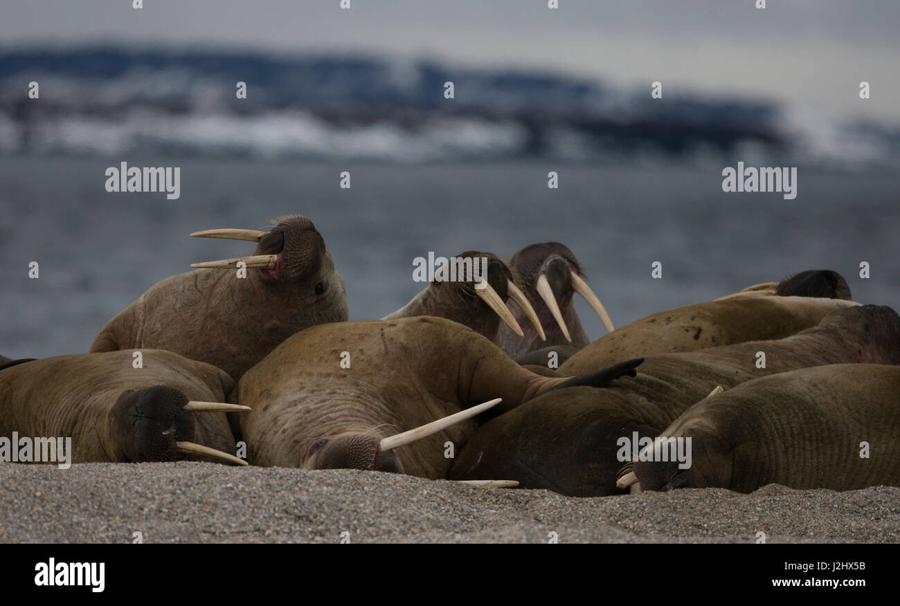 Walrus Haul out - Stock Image