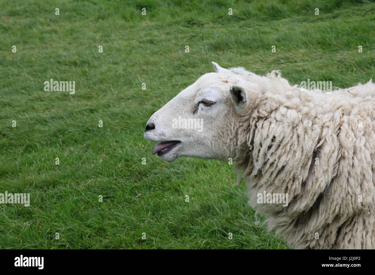 Head shot of a sheep bleating - Stock Image