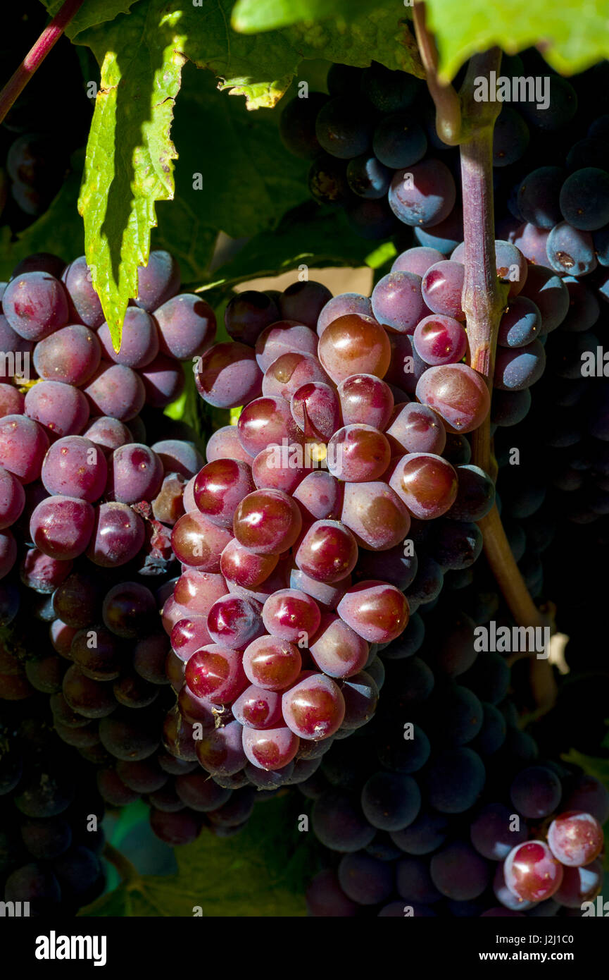 Usa, Washington State, Royal City. Pinot Gris grapes in Lawrence Vineyards which lies on the Royal Slope in the - Stock Image