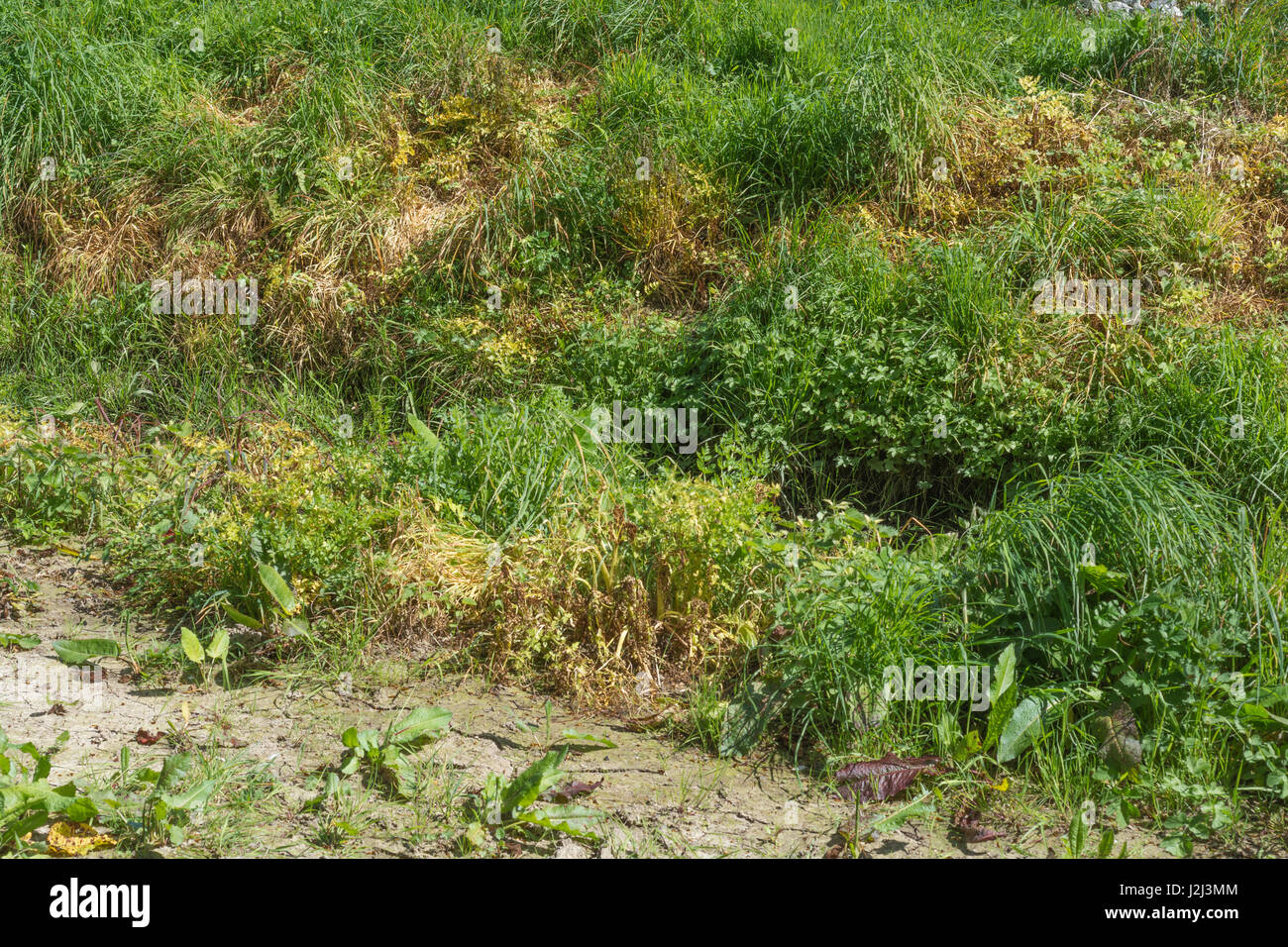 Noxious weed control by herbicide use - yellowed leaves of poisoned Hemlock Water-Dropwort / Oenanthe crocata beside Stock Photo