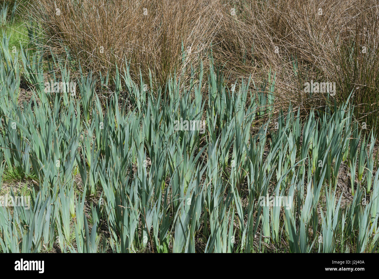 Early spring growth of the Yellow Iris (Iris pseudacorus). A plant that likes moist and wet ground / habitats. - Stock Image