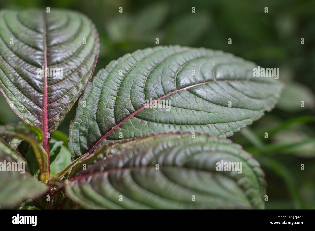 Young pre-flowering foliage / leaves of Himalayan Balsam / Impatiens glandulifera - a troublesome invasive weed Stock Photo