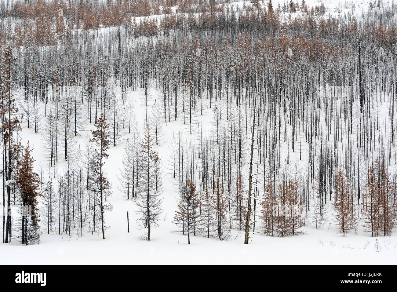 Dead forest, trees, woods in winter, nearly monochrome structures, Grand Teton National Park, Wyoming, USA. - Stock Image