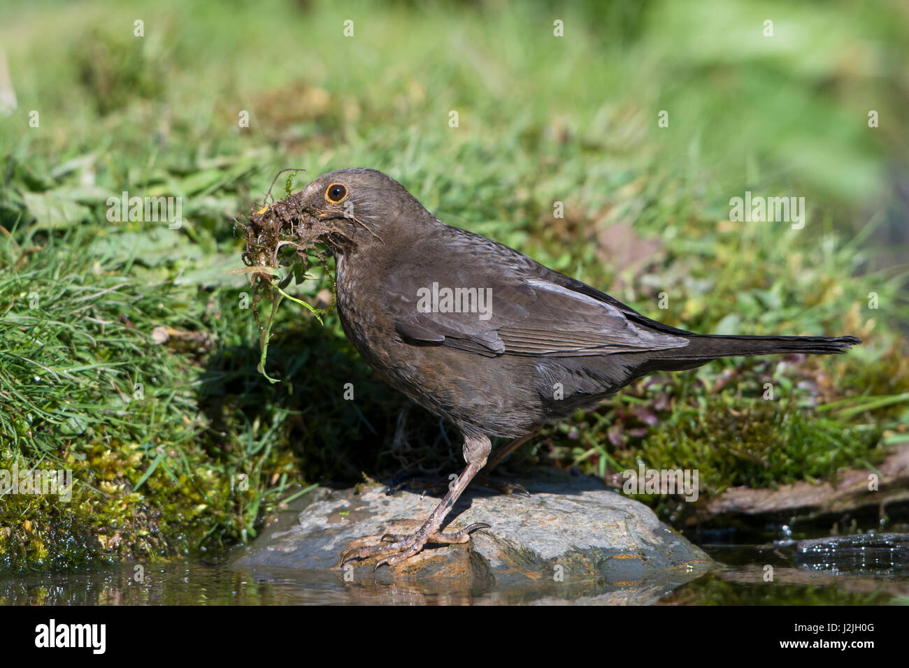 A female Blackbird (Turdus merula) collecting nesting material around a garden pond edge, Hastings, East Sussex, - Stock Image