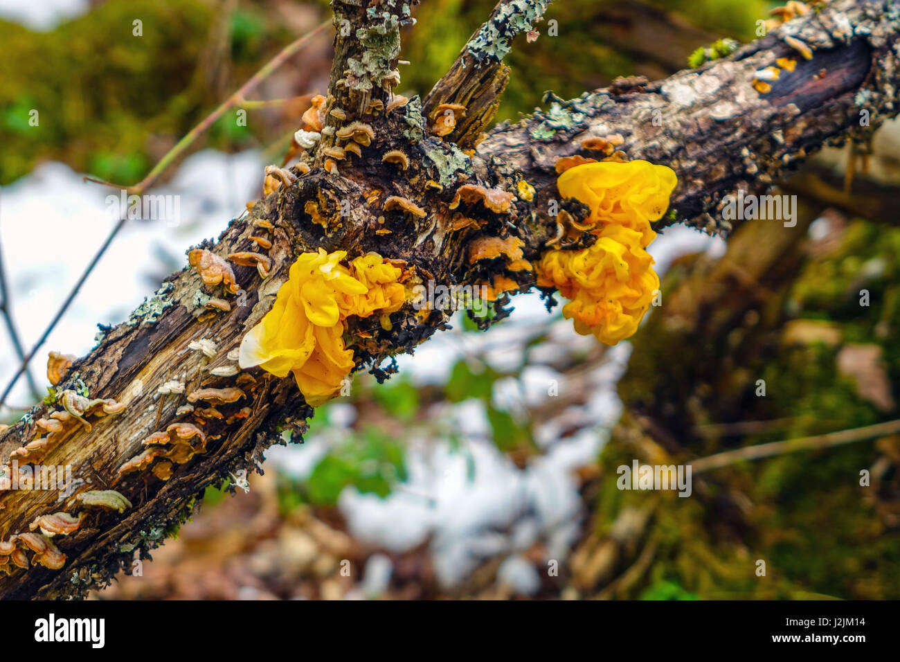 Yellow Brain Fungus growing on tree branch, French Pyrenees - Stock Image