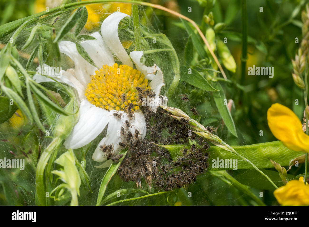 Spiderling creche or nursery on white Daisy - Stock Image