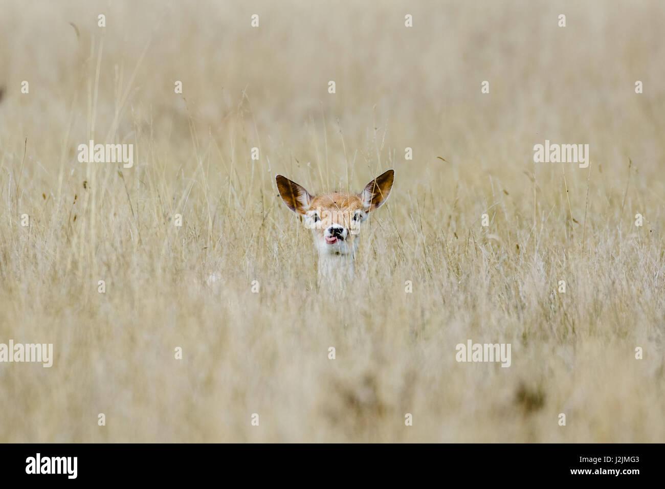 Alert Fallow deer fawn (Dama dama) laying long in the long grass, ears pricked - Stock Image
