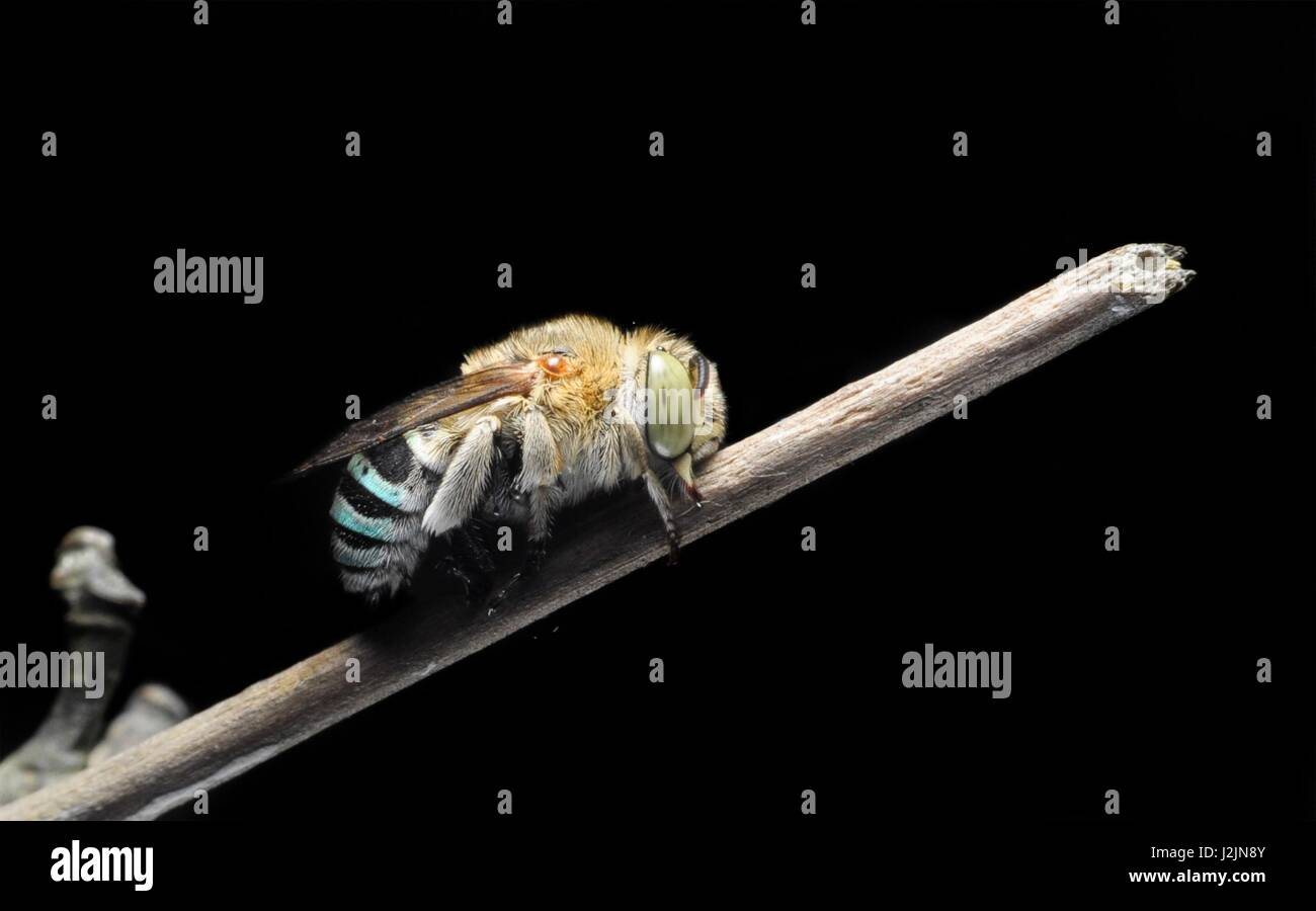 Close-up cuckoo bee on black background. Selective focus. - Stock Image