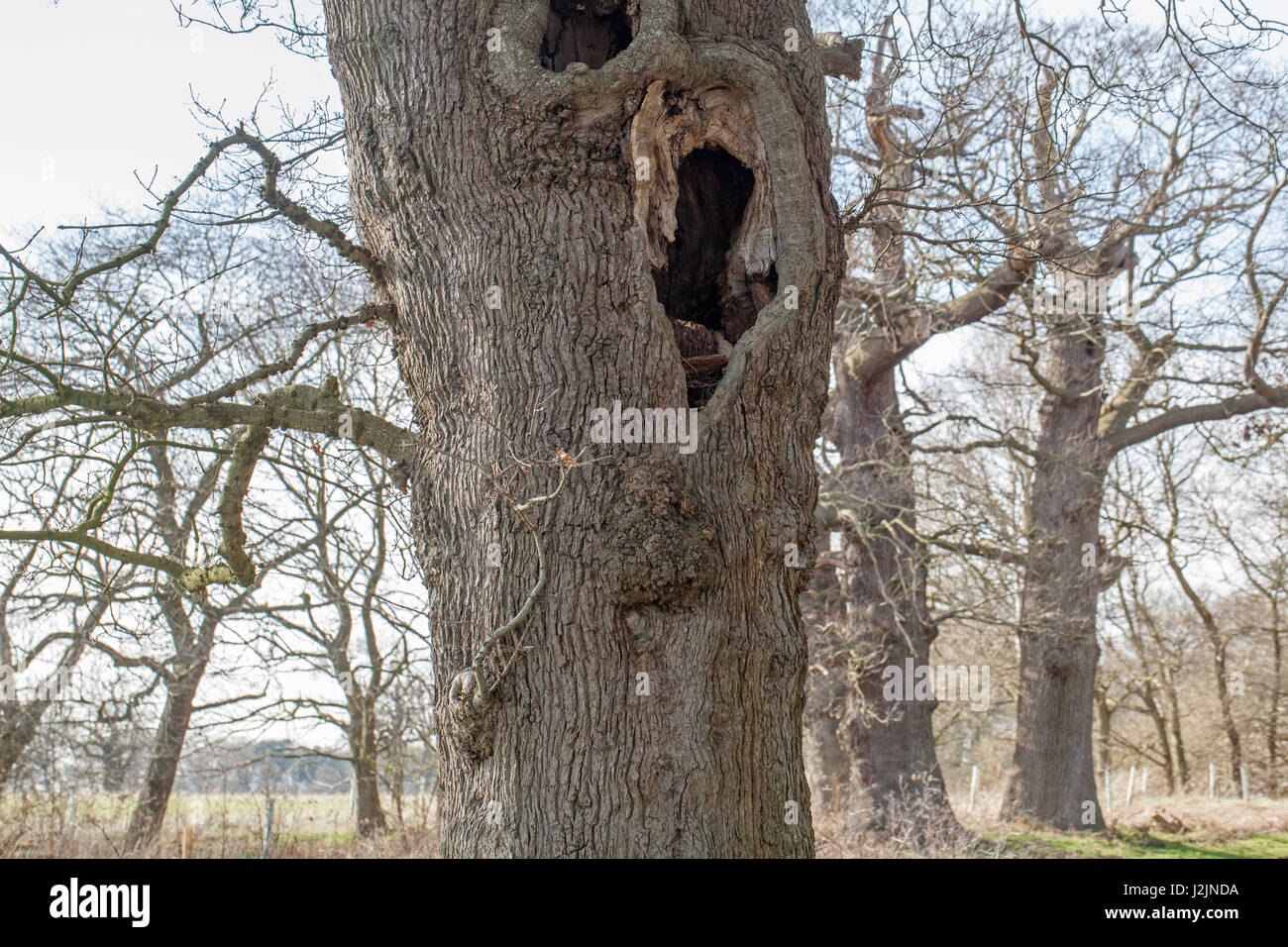 English Oak (Quercus robur). Elderly, senile tree with hollowed trunk, left standing, in English parkland. Norfolk. - Stock Image