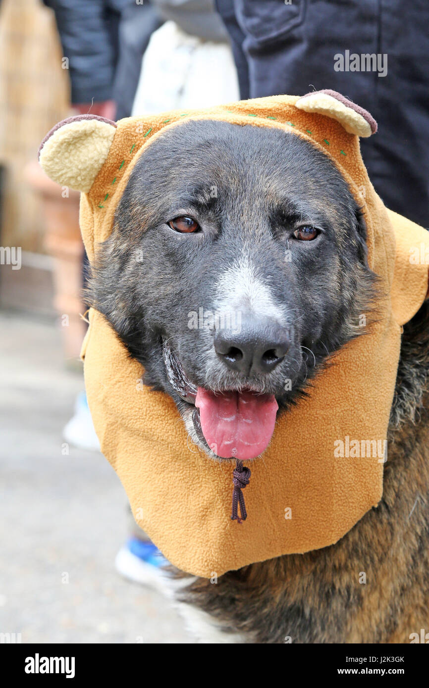 London, UK. 29th April 2017. Ned the German Shepard cross dressed as an Ewok from the Star Wars universe at the - Stock Image