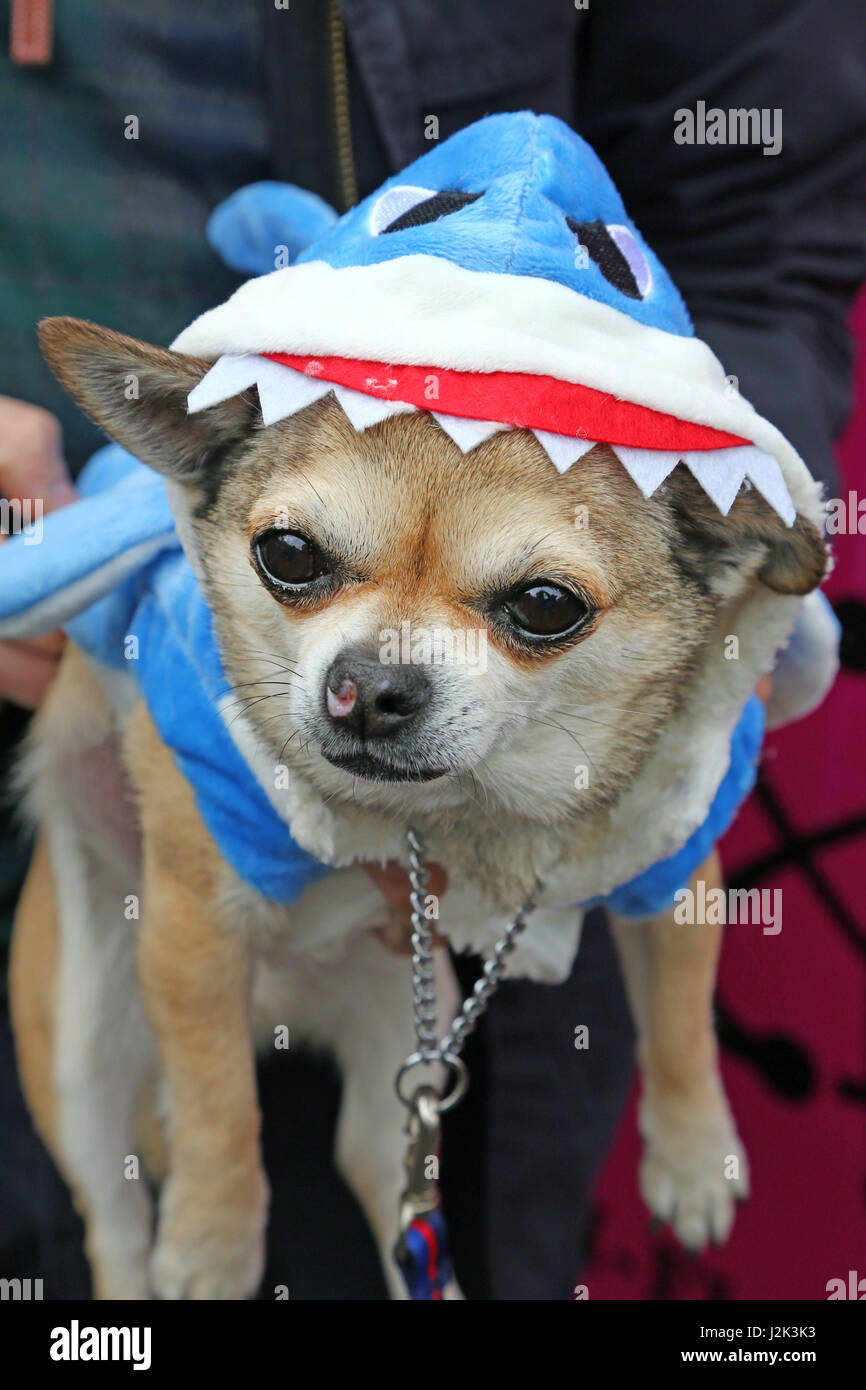 London, UK. 29th April 2017. Ojay the Chihuahua dressed as a shark from Sharknado at the Sci-Fido cosplay dog show - Stock Image