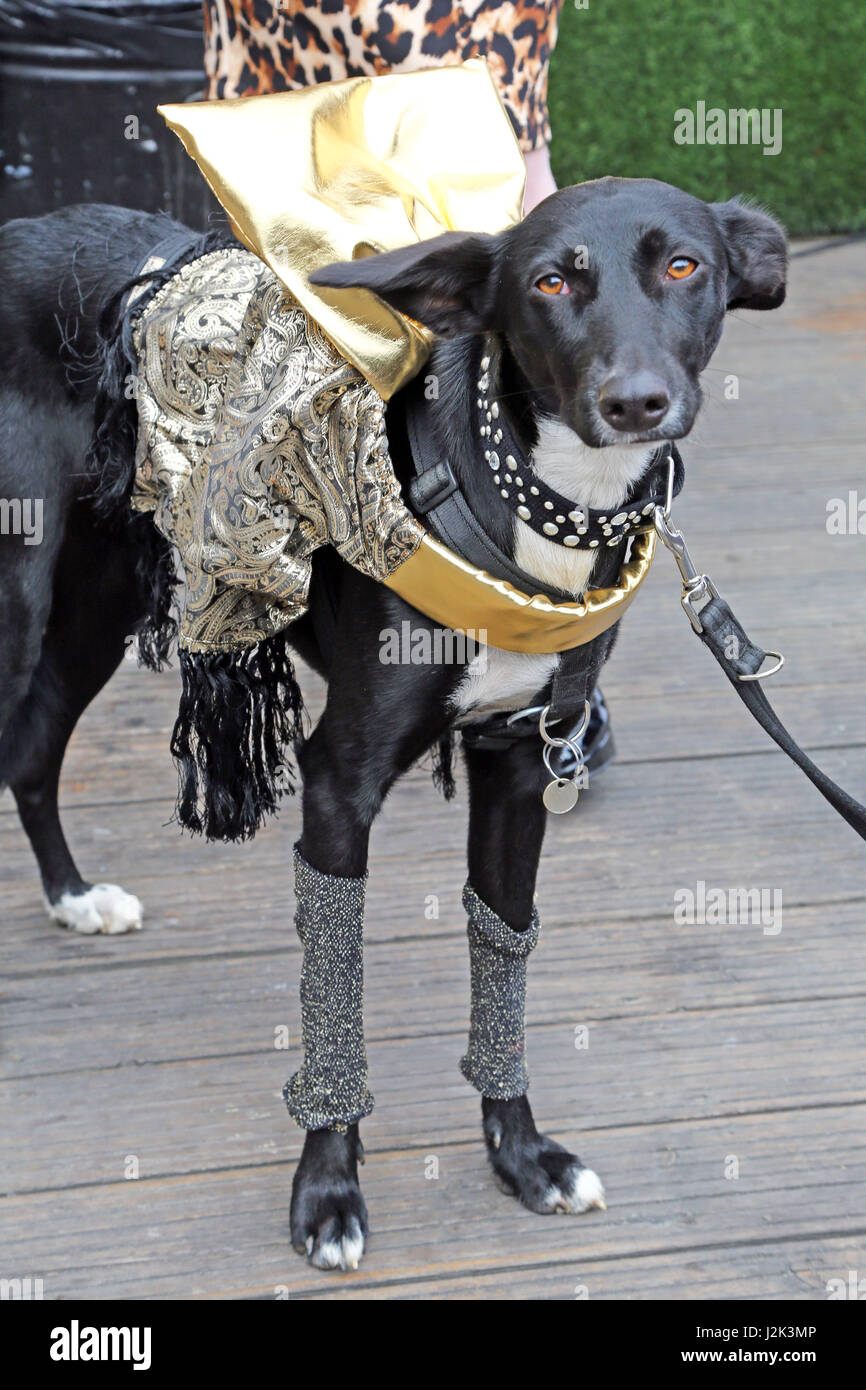 London, UK. 29th April 2017. Olive the Podenko dressed as a Spider from Mars at the Sci-Fido cosplay dog show at - Stock Image
