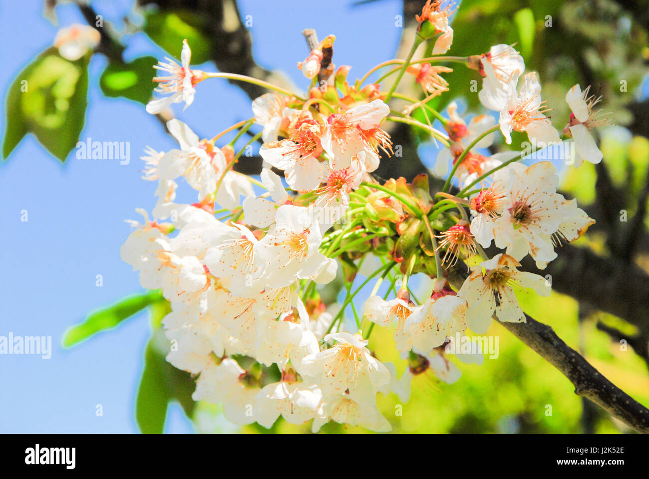 Portland, Dorset, UK. 29th April, 2017. Apple blossom begins to fall in a sunny Portland garden Credit: stuart fretwell/Alamy - Stock Image