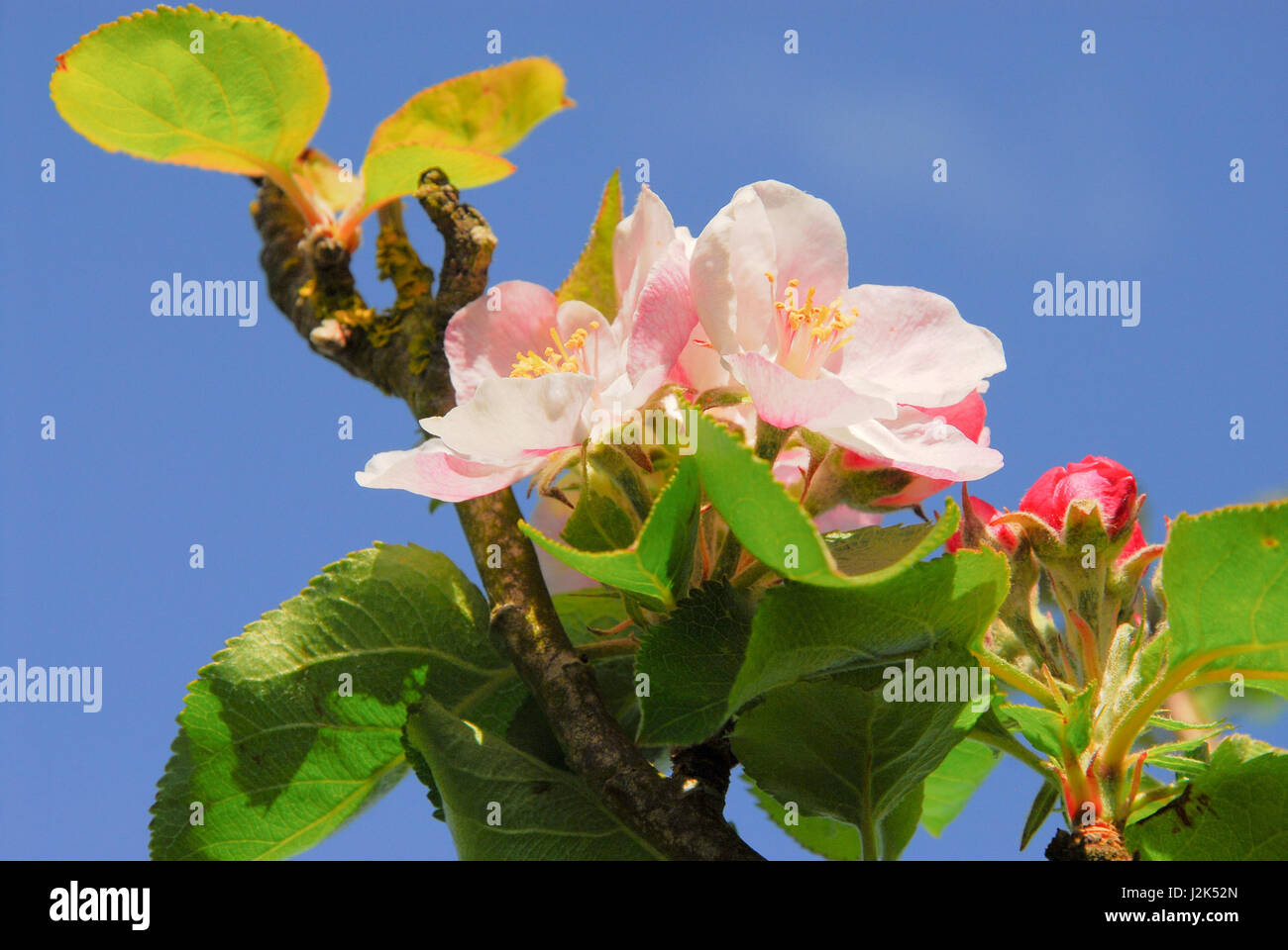 Portland, Dorset, UK. 29th April, 2017. Apple blossom opens against a clear, blue sky in a sunny Portland garden - Stock Image