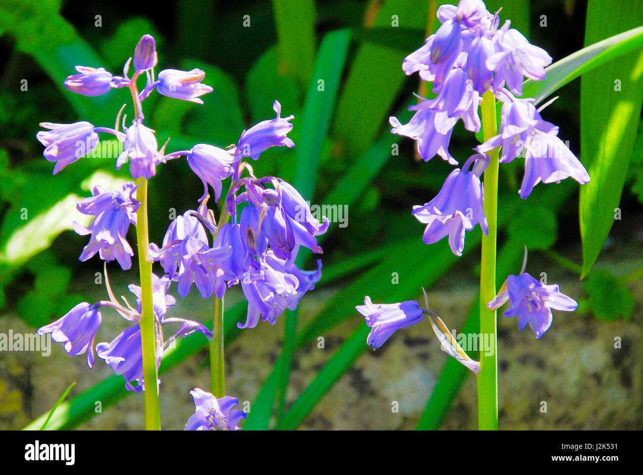 Portland, Dorset, UK. 29th April, 2017. Bluebells growing in semi-shade in a sunny Portland garden Credit: stuart - Stock Image
