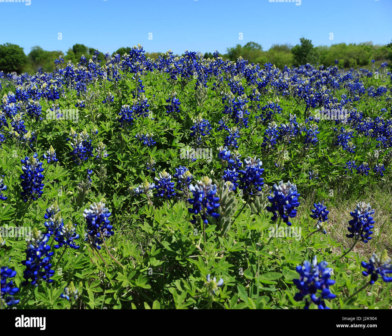 Texas State Flower - Stock Image