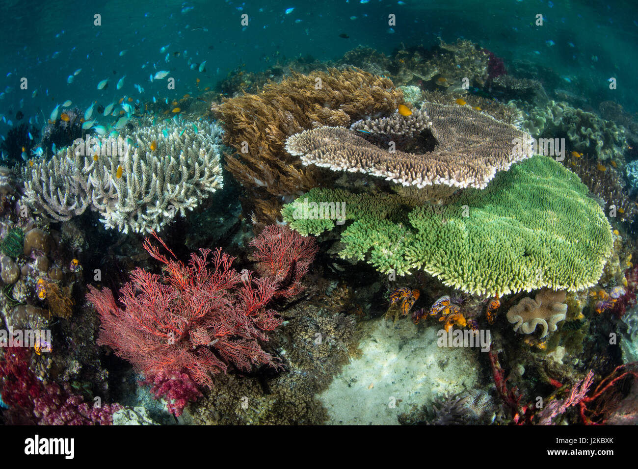 A vibrant coral reef grows in shallow water in Raja Ampat, Indonesia. This area is known for its spectacular marine - Stock Image