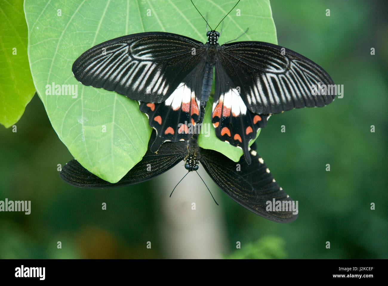 two butterflies on a leaf - Stock Image