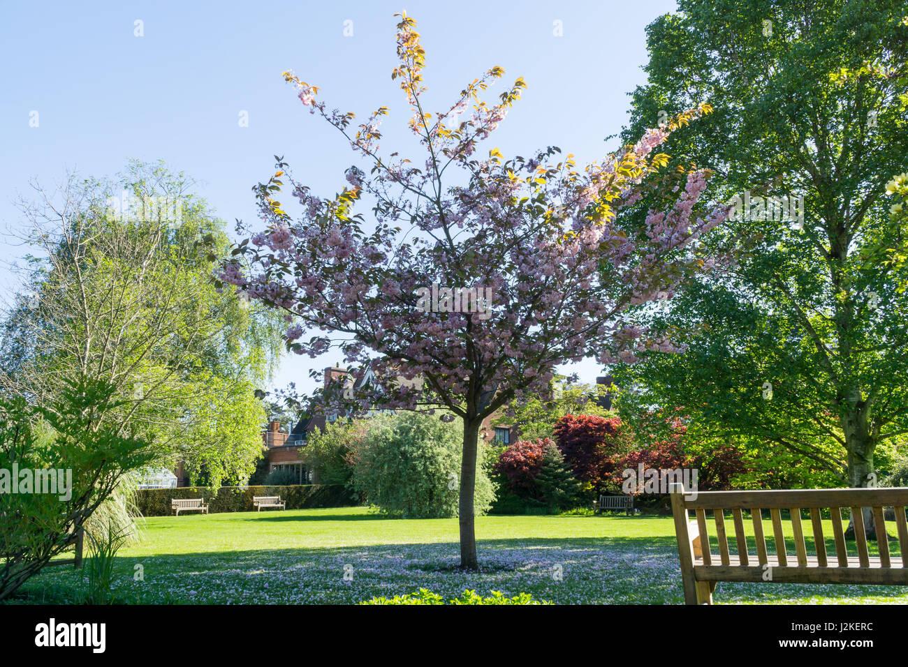 Tree blossom in springtime UK - Stock Image
