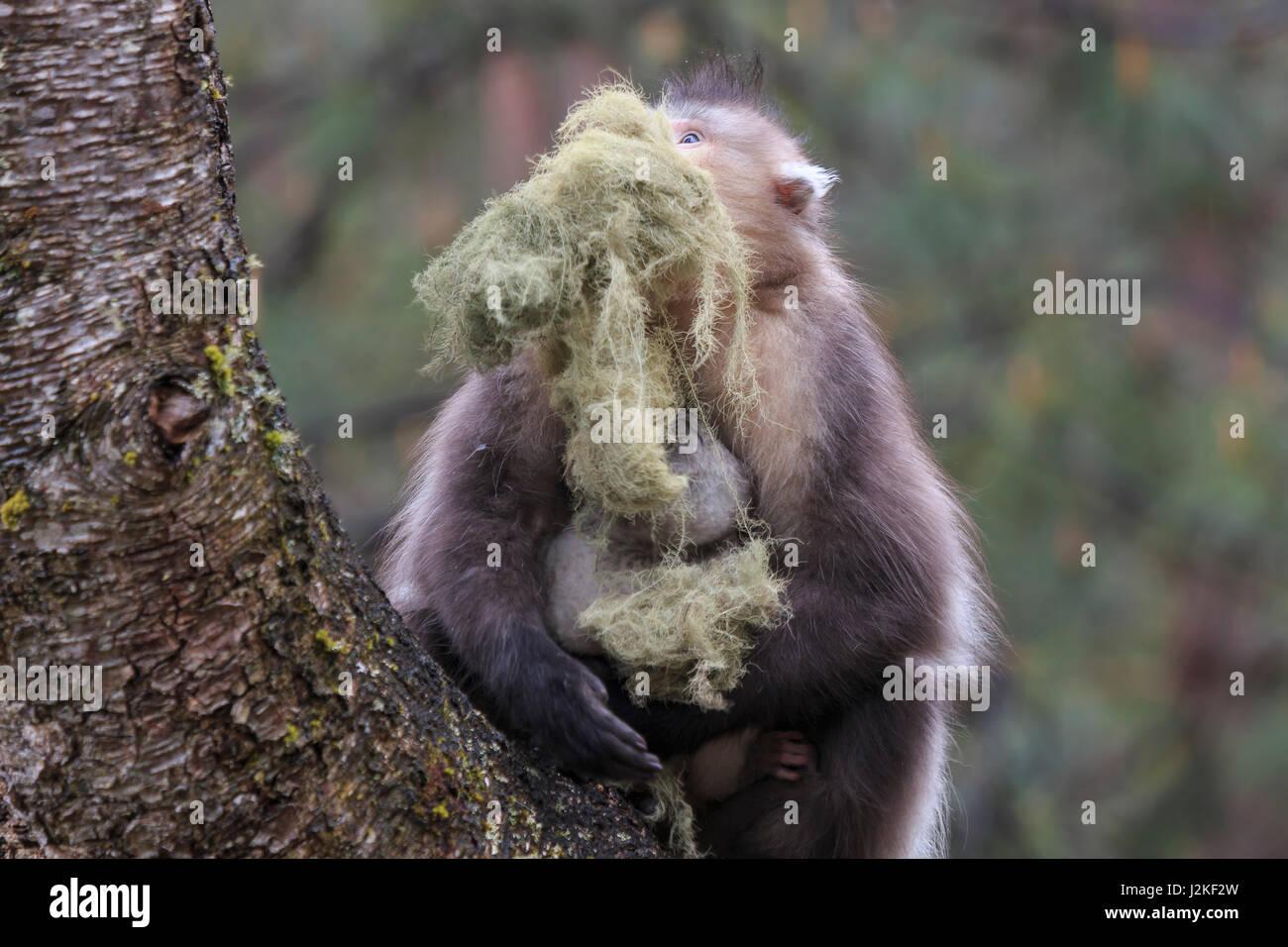 Yunnan Black Snub-Nosed Monkey (Rhinopithecus Bieti) Stock Photo