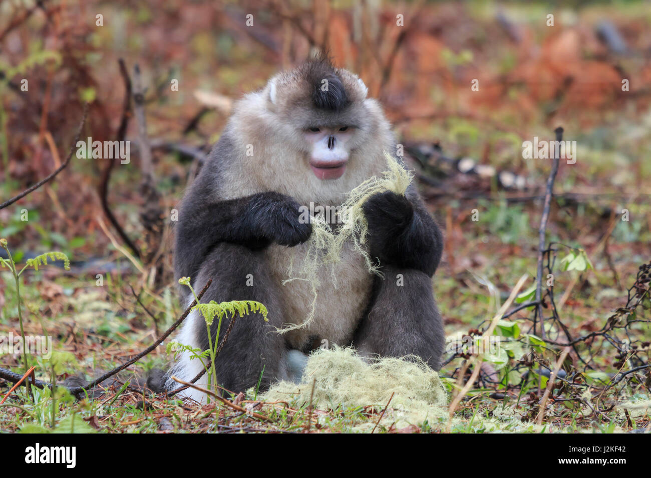 Yunnan Black Snub-Nosed Monkey (Rhinopithecus Bieti) - Stock Image