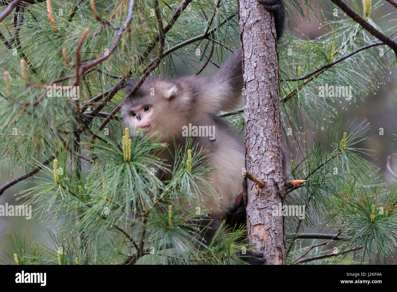 Yunnan Black Snub-Nosed Monkey (Rhinopithecus Bieti) Stock Photo