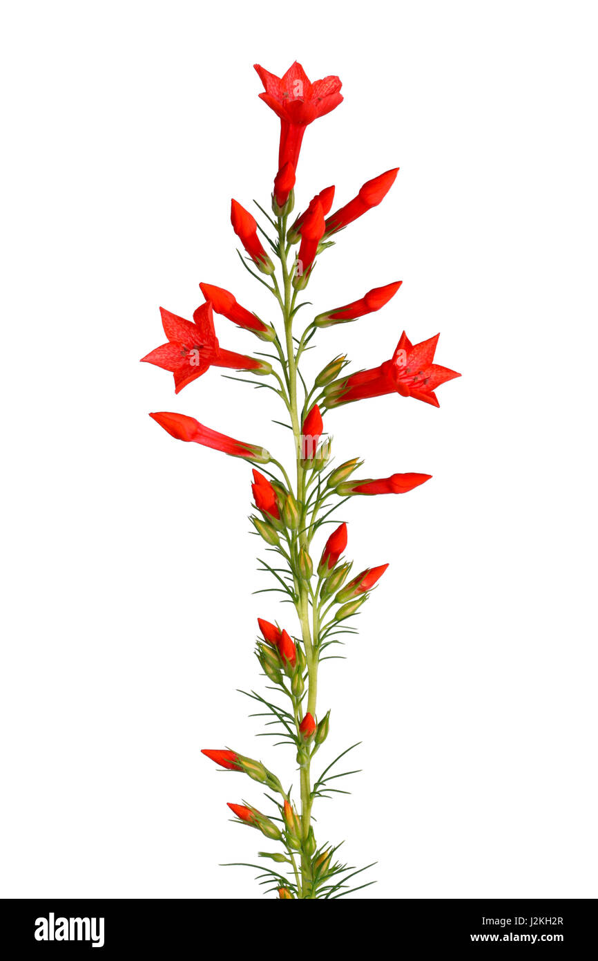 Single stem with bright-red flowers of Ipomopsis aggregata cultivar Hummingbird, also called scarlet trumpet, scarlet - Stock Image