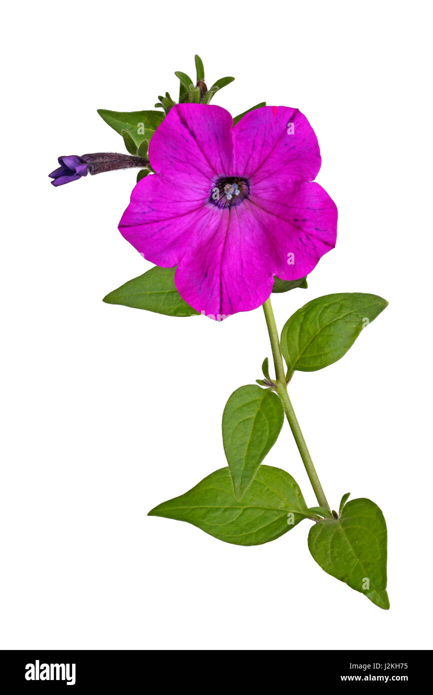 Single stem with a bright-magenta flower and developing bud of petunias (Petunia hybrida) isolated against a white - Stock Image