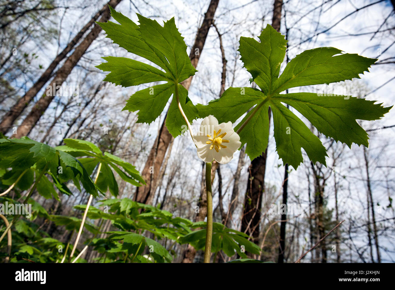 Mayapple (Podophyllum peltatum) - Holmes Educational State Forest, Hendersonville, North Carolina, USA Stock Photo