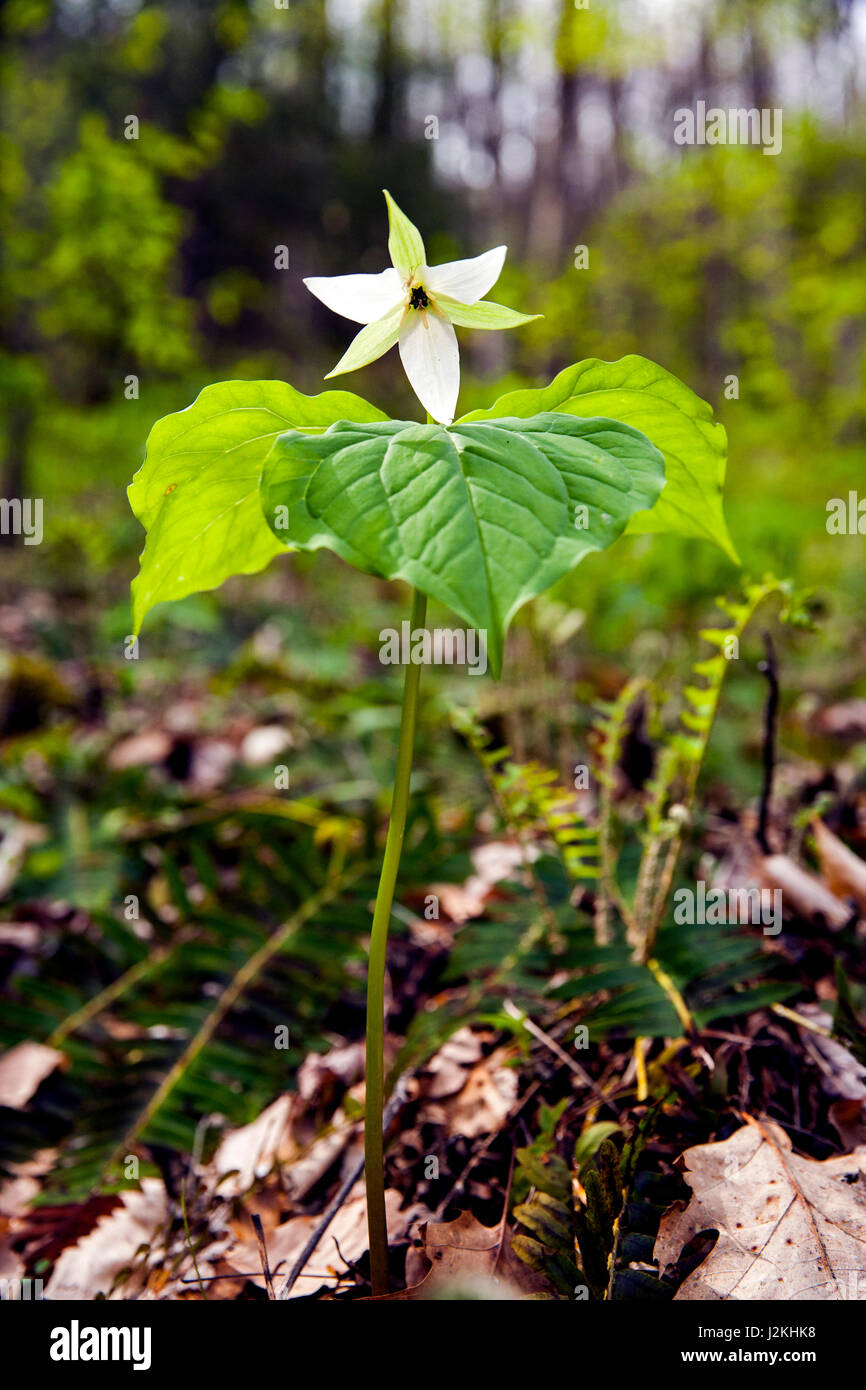 White Trillium - Holmes Educational State Forest, Hendersonville, North Carolina, USA Stock Photo