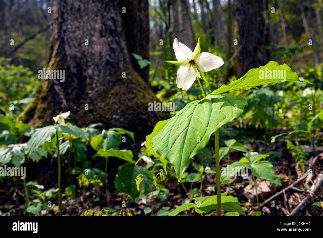 White Trillium (Normal DOF) - Holmes Educational State Forest, Hendersonville, North Carolina, USA Stock Photo