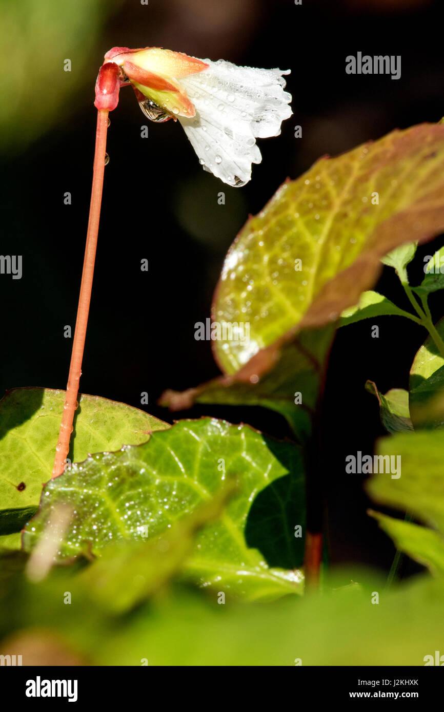 Oconee Bells (Shortia galacifolia) - Holmes Educational State Forest, Hendersonville, North Carolina, USA Stock Photo