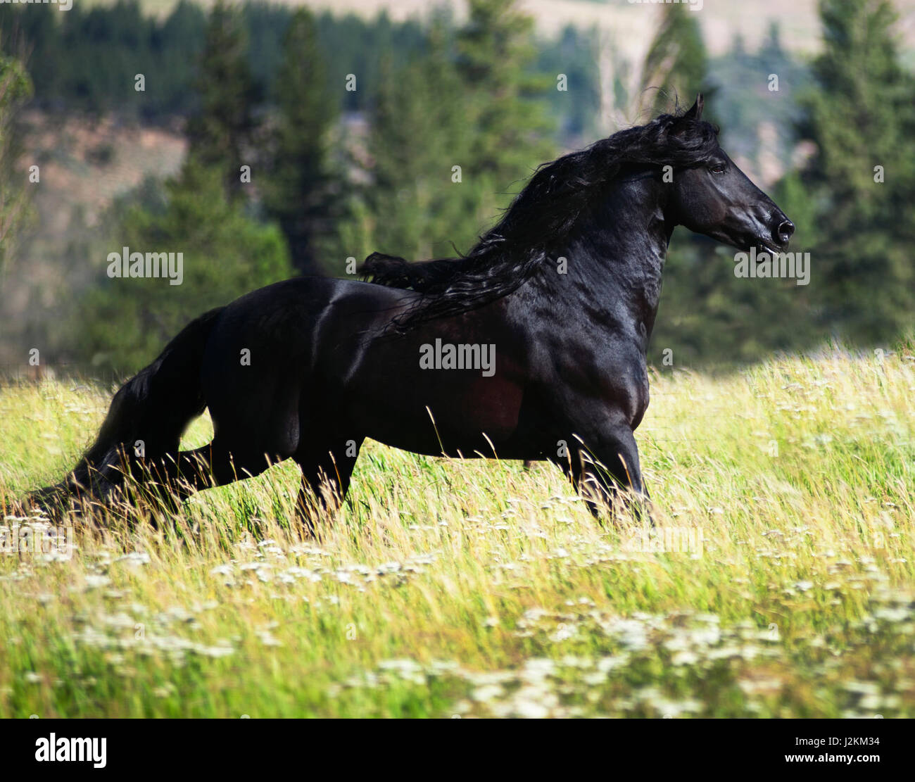 Black Friesian Stallion in green pasture - Stock Image