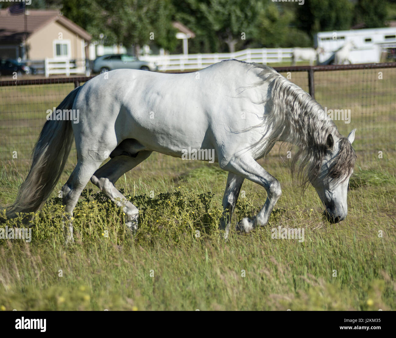 White Andalusian Stallion in green pasture - Stock Image