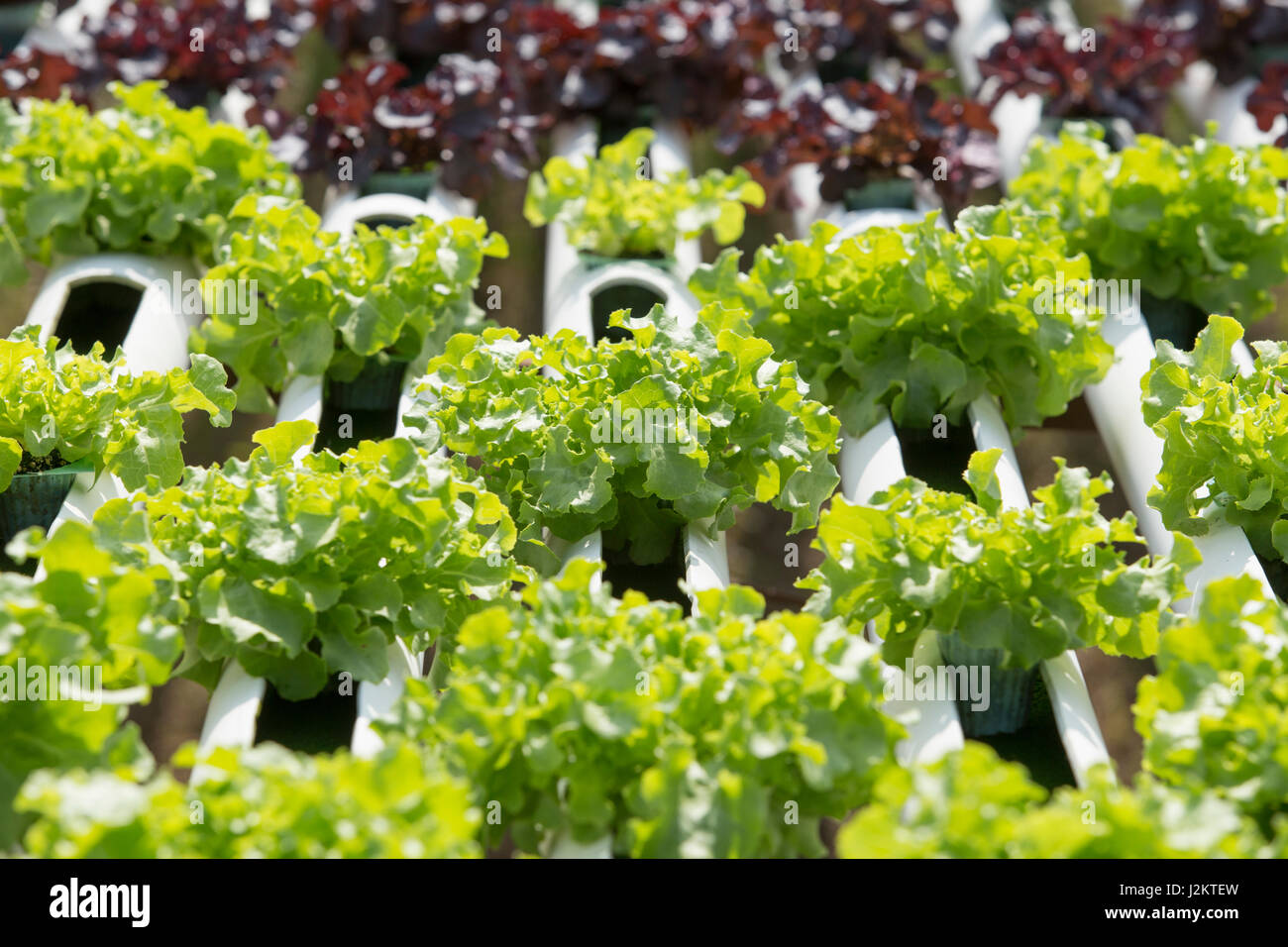 Hydroponics method of growing plants using mineral nutrient