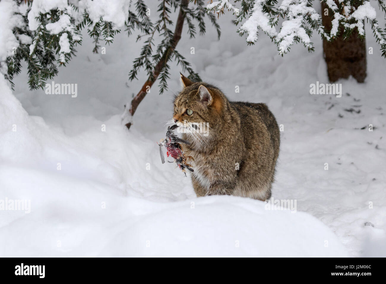 European wild cat (Felis silvestris silvestris) with bird prey in mouth in the snow in winter - Stock Image