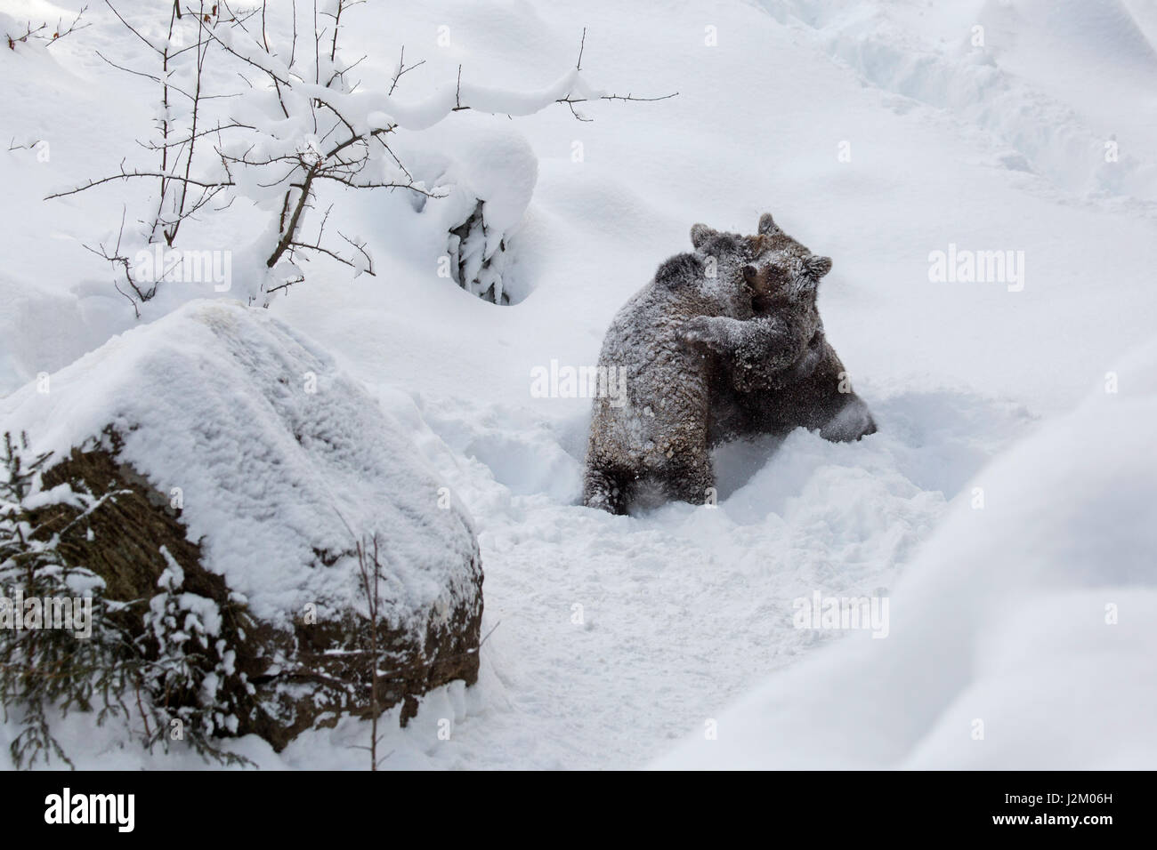 Two 1-year-old brown bear cubs (Ursus arctos arctos) play fighting in the snow in winter - Stock Image