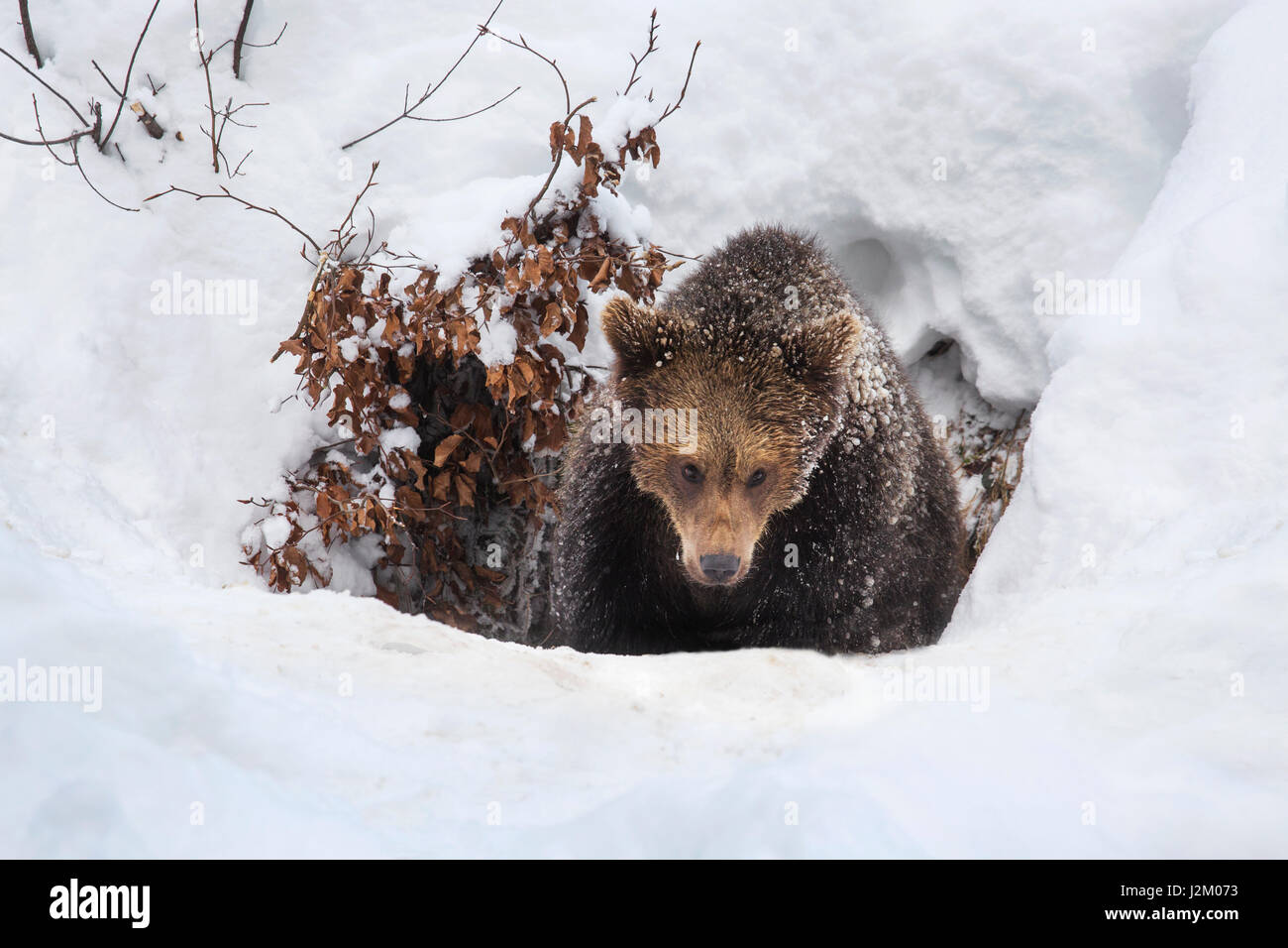 One year old brown bear cub (Ursus arctos arctos) emerging from den in the snow in winter - Stock Image
