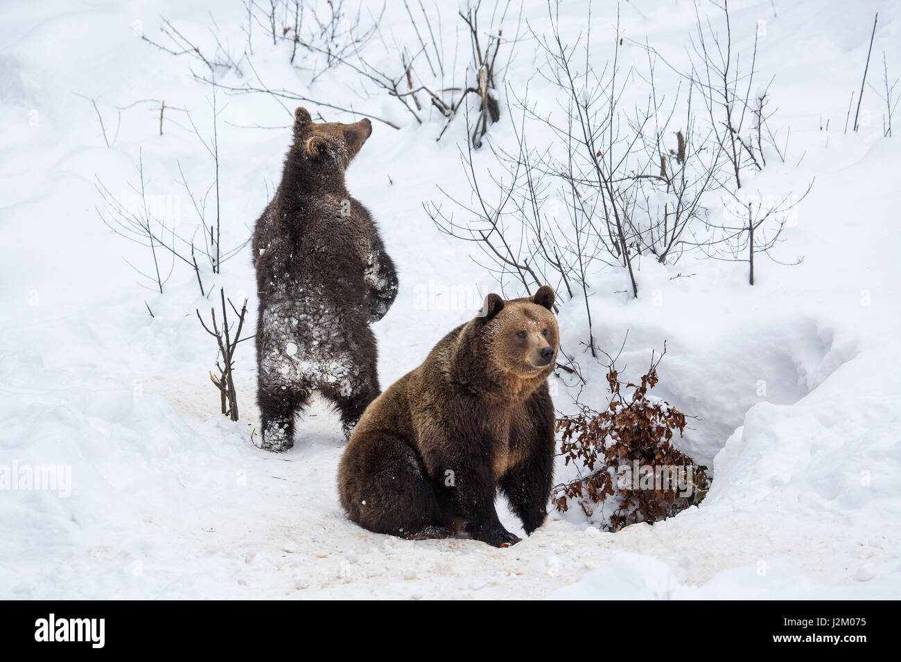 Female and 1-year-old brown bear cub (Ursus arctos arctos) leaving den in the snow in winter - Stock Image