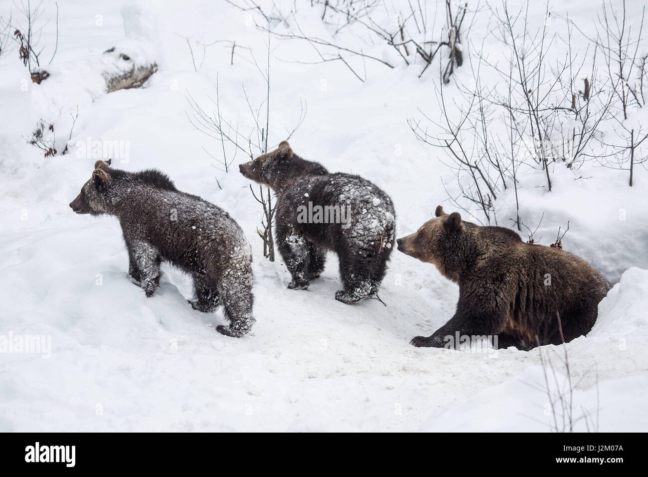 Female and two 1-year-old brown bear cubs (Ursus arctos arctos) leaving den in the snow in winter - Stock Image