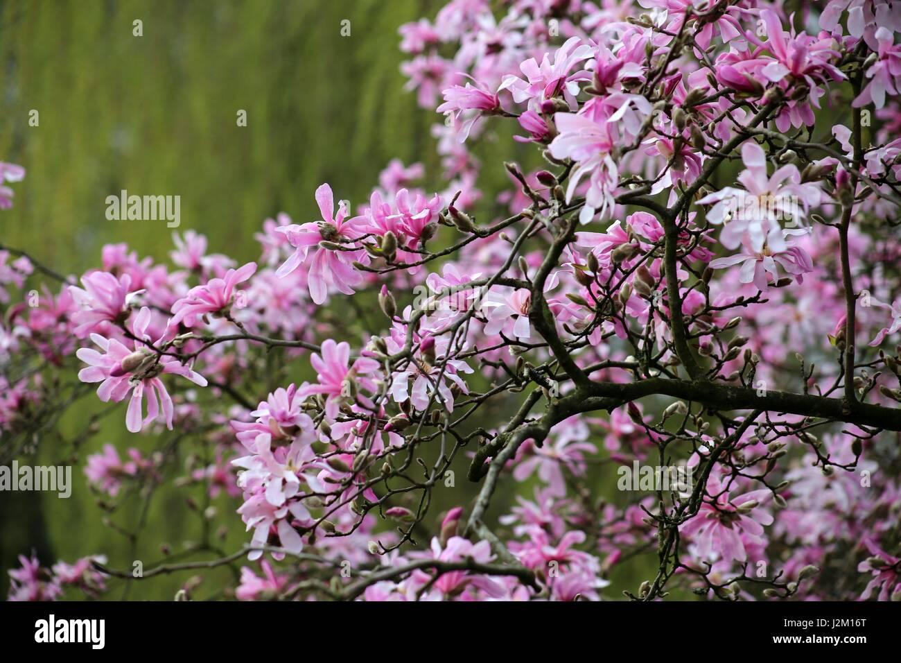 Magnolia Loebneri Leonard Messel Pink Star Shaped Magnolia In