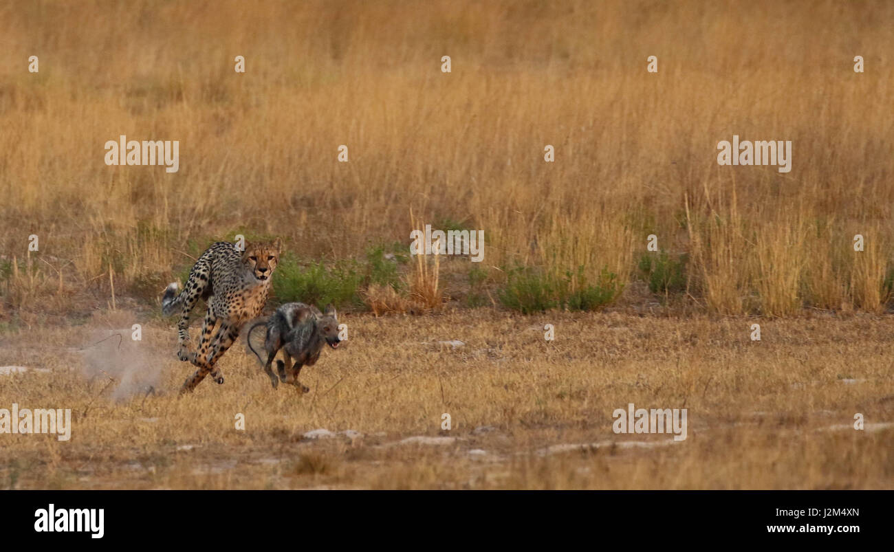 A young cheetah chasing a jackal in Zambia. Stock Photo