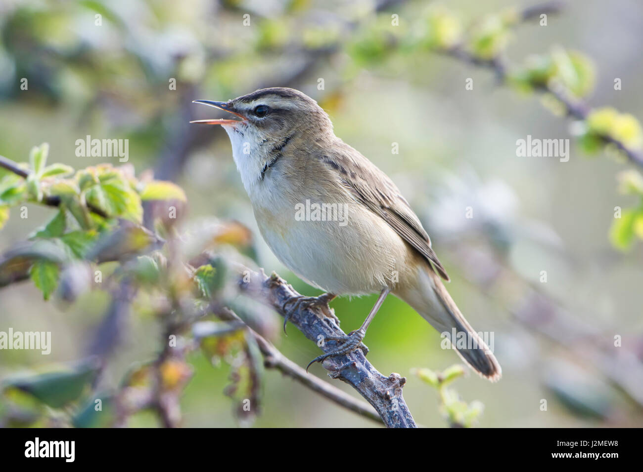A Sedge Warbler (Acrocephalus schoenobaenus) singing from scrub to attract a mate in spring, Rye harbour nature - Stock Image