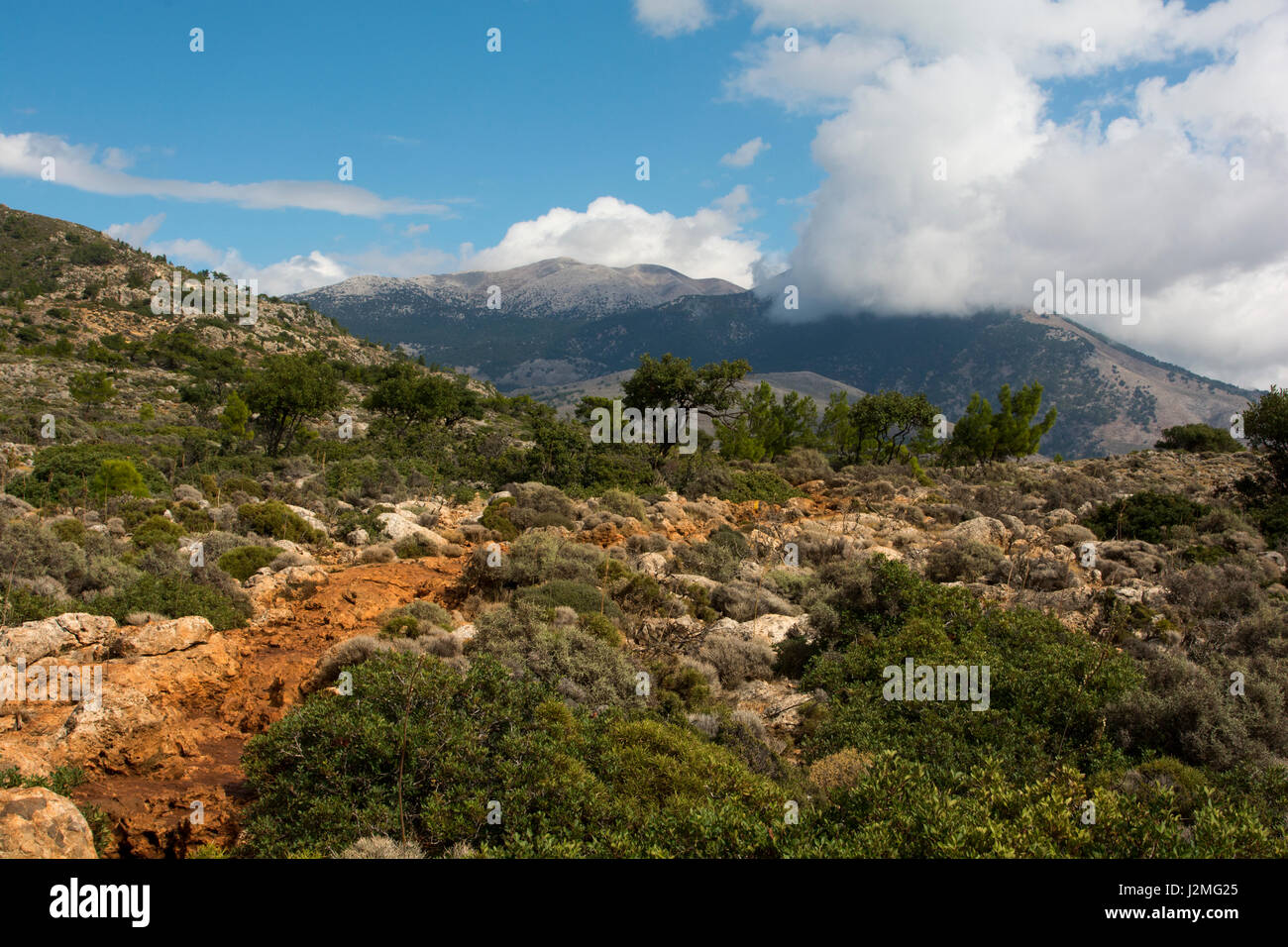 The Aleppo Pine is growing around the Mediterranean Coast as here on the Kandouni plain at the southwest coast of - Stock Image